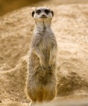 A very cute Meerkat